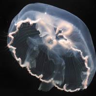 Aurelia cebimarensis e outras medusas-da-lua: como identificamos espécies sem diferenças morfológicas?